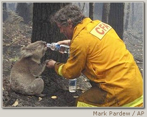 Koala Rescued In Charred Australia
